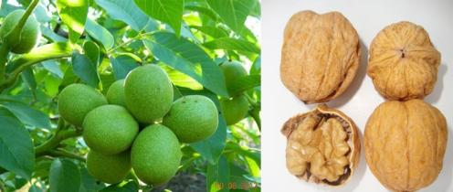 Types of Saplings